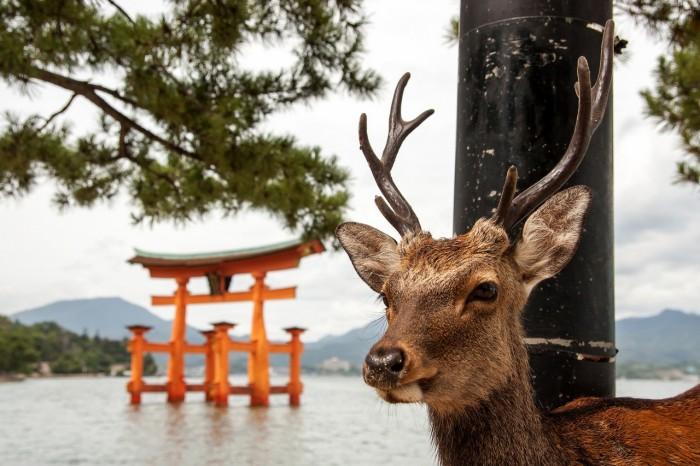 insula-caprioarelor-Miyajima-Japonia