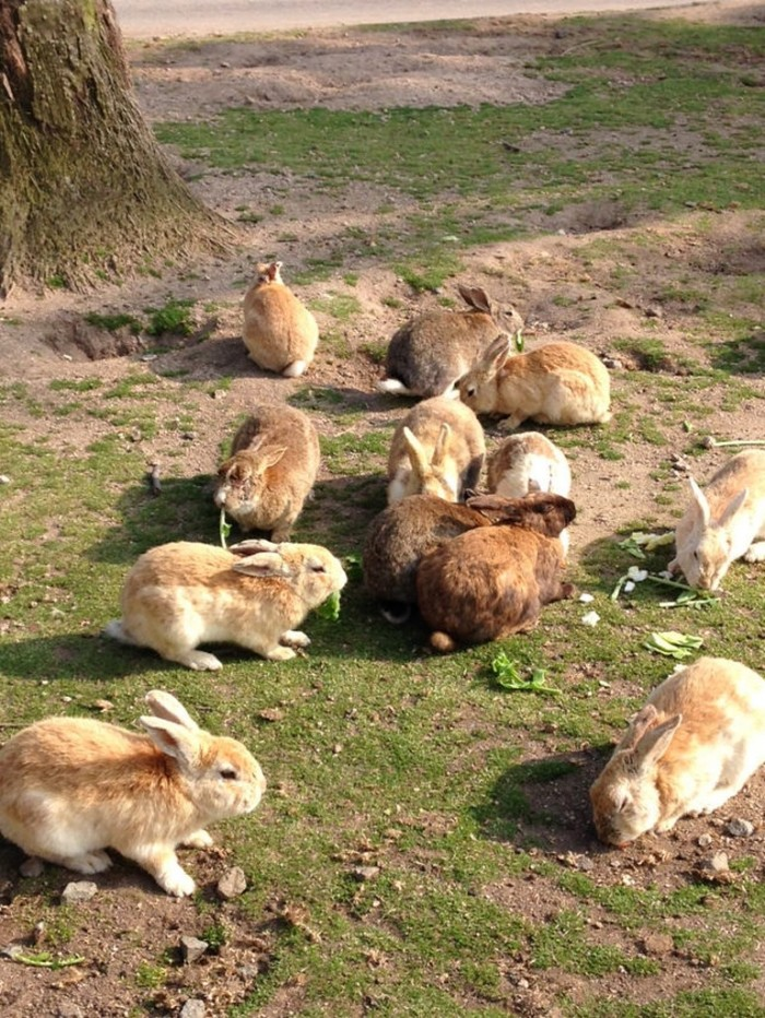 Okunoshima-insula-iepurilor-Japonia
