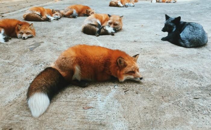 Zao-Fox-Village-sat-vulpi-Japonia (2)