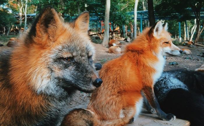 Zao-Fox-Village-sat-vulpi-Japonia