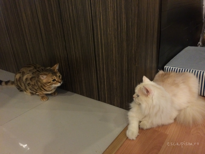 Catmosphere-Cafe-Chiang-Mai-Cats-Play-Ace
