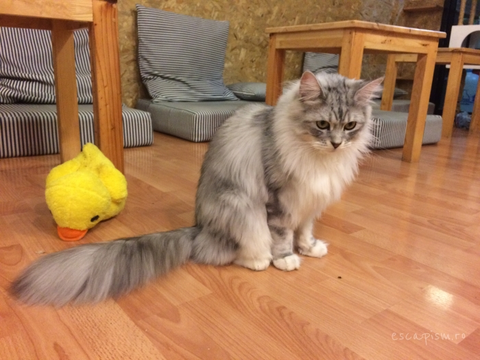 Catmosphere-Cafe-Chiang-Mai-Maine-Coon-Play