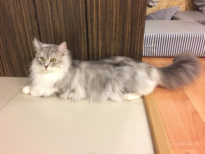 Catmosphere-Cafe-Chiang-Mai-Maine-Coon